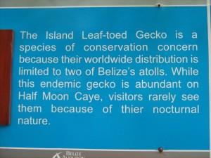 Leaf-toed Gecko