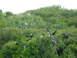 Birds on Half Moon Caye